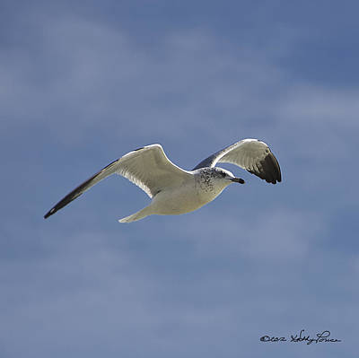 Poster featuring the photograph Seagull Flight I by Kathy Ponce