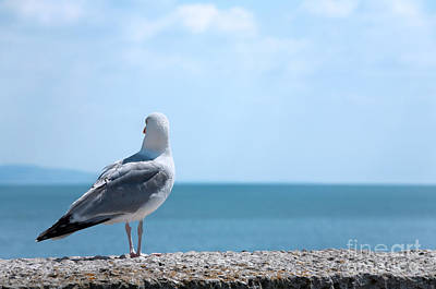 Seagull Looking Out To Sea Poster by Natalie Kinnear