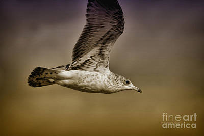 Seagull Oil Poster