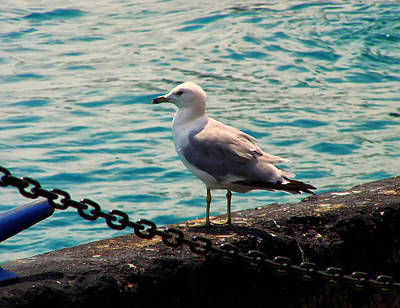 Seagull On The Chicago Seawall Poster by Chris Flees