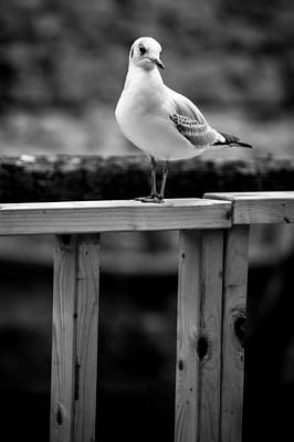 Seagull Portait Poster