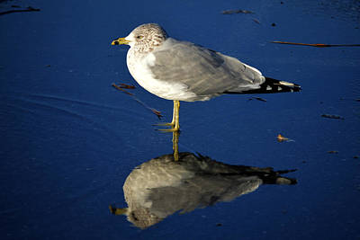 Seagull Reflecting In Shallow Water Poster