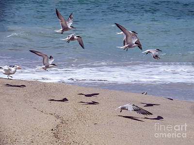 Seagulls On The Wing Poster