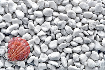 Seashell On White Pebbles Poster by Olivier Le Queinec