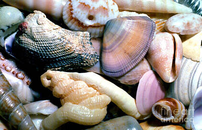 Seashells Puerto Rico Poster by Thomas R Fletcher