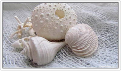 Seashells Study 1 Poster by Danielle  Parent