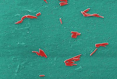 Sebaldella Termitidis Bacteria Poster by Science Source