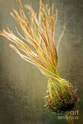 Seed Head Of Dryas Octopetala Poster by Heiko Koehrer-Wagner