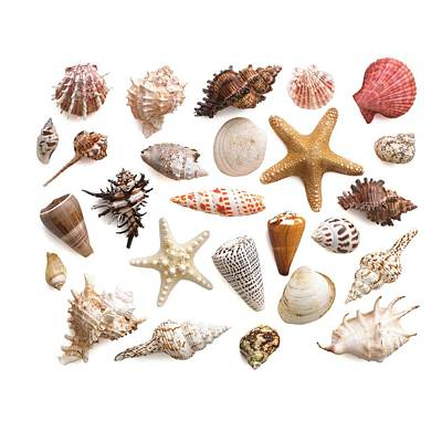 Selection Of Sea Shells And Star Fish Poster by Science Photo Library