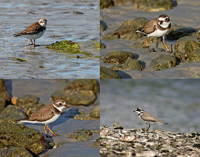 Semipalmated Plover Poster by Dawn Currie