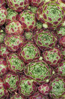 Sempervivum Atlanticum Pattern Poster