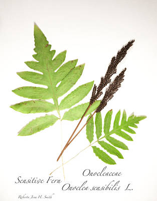 Sensitive Fern  Poster