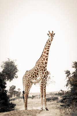 Poster featuring the photograph Sentinal Giraffe by Mike Gaudaur