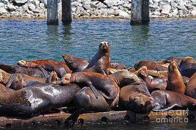 Sentry Sea Lion And Friends Poster by Susan Wiedmann
