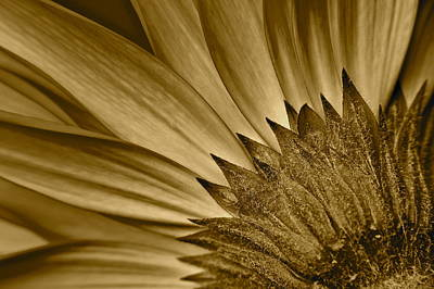 Sepia Daisy Poster by Frozen in Time Fine Art Photography