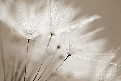 Sepia Dandelion Clock And Water Droplets Poster by Natalie Kinnear