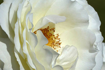 Poster featuring the photograph September Mourn Rose by Cindy McDaniel