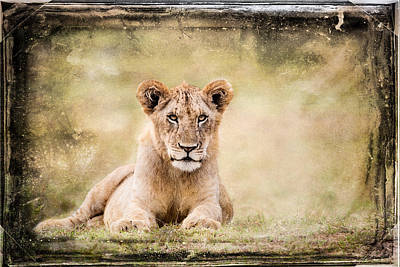Serene Lioness Poster by Mike Gaudaur
