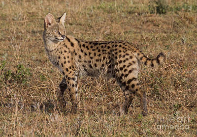 Serval Cat 3 Poster by Chris Scroggins