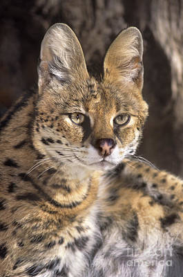 Poster featuring the photograph Serval Portrait Wildlife Rescue by Dave Welling