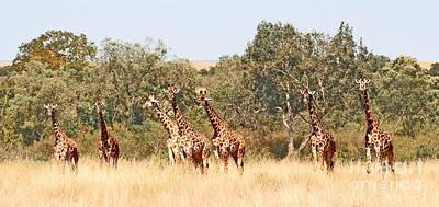 Seven Masai Giraffes Poster by Liz Leyden