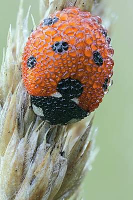 Seven Spot Ladybird Poster