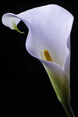 Shapely Calla Lily Poster