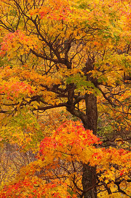 Shapely Maple Tree Poster