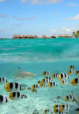 Over-under With Shark And Butterfly Fish At Bora Bora Poster