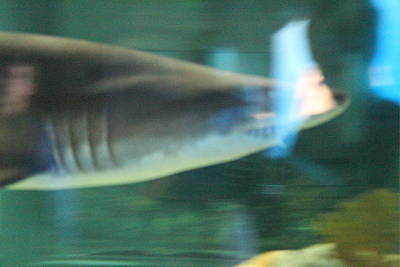 Shark - National Aquarium In Baltimore Md - 121211 Poster by DC Photographer