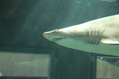 Shark - National Aquarium In Baltimore Md - 121219 Poster by DC Photographer