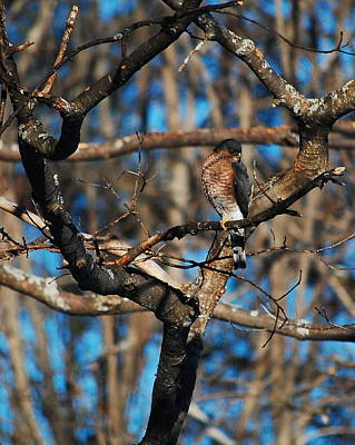 Poster featuring the photograph Sharp Shinned Hawk by Mim White