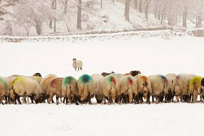 Sheep Eating Winter Feed Poster