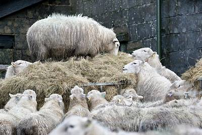 Sheep Feeding On Hay In Winter Poster by Linda Wright
