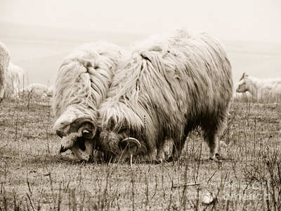 Sheep Grazing Poster by Gabriela Insuratelu