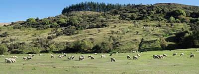 Sheep Grazing In Pasture Along Cardona Poster