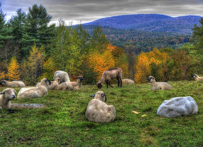 Sheep Grazing On Mountain  Poster by Joann Vitali