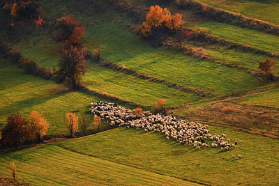 Sheep Herd At Sunset Poster