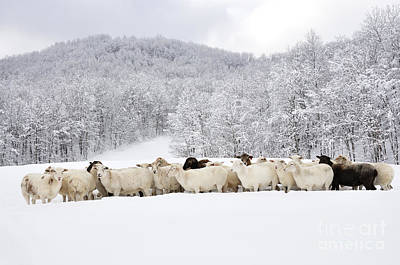 Sheep In Heavy Snow Poster by Thomas R Fletcher