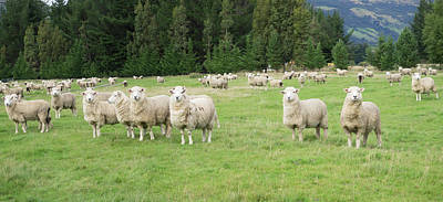 Sheep In Pasture, Paradise Valley Poster by Panoramic Images