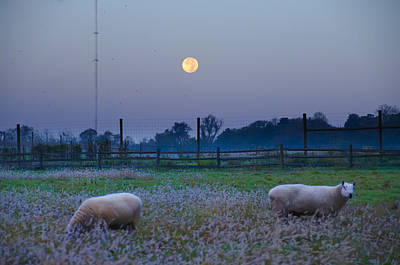 Sheep In The Moonlight Poster by Bill Cannon