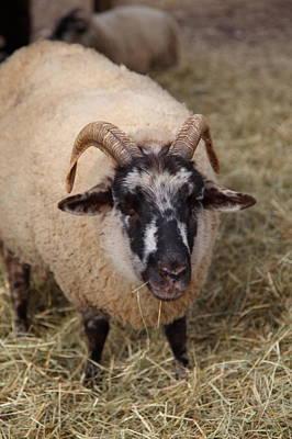 Sheep - Mt Vernon - 01133 Poster