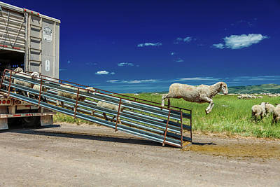 Sheep Ranchers Unload Sheep On Hastings Poster