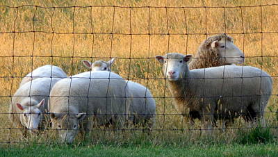Sheep With Golden Light Poster