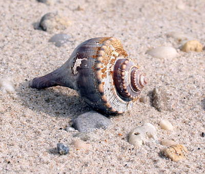 Poster featuring the photograph Shell by Karen Silvestri