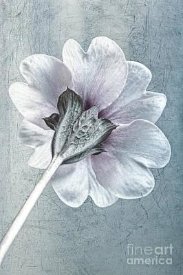 Sheradised Primula Poster by John Edwards