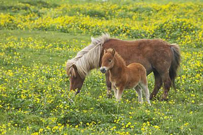 Shetland Pony Foal In Marsh Marigold Poster by Bill Coster