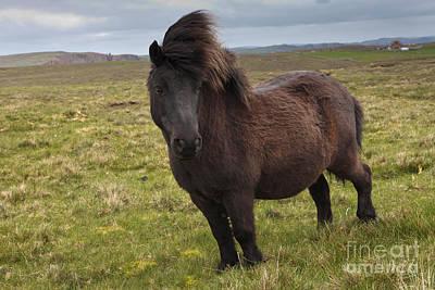 Shetland Pony Poster by Thomas Hanahoe