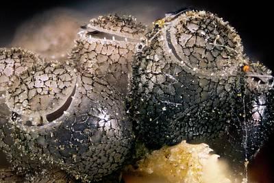 Shield Bug Eggs Poster