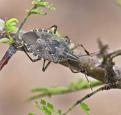 Shield Bug (erthesina Fullo) Poster
